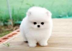 Micro Tiny Teacup white  Pomeranian love puppy