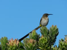 Cape Sugarbird, Cape Point National Park, Cape Town, South Africa