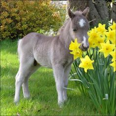 Mini horse foal and daffodils. I'm volunteering at a mini horse farm. Can't wait for the babies to be born! Cute Horses, Pretty Horses, Horse Love, Beautiful Horses, Animals Beautiful, Beautiful Creatures, Mini Horses, Gray Horse, Majestic Animals