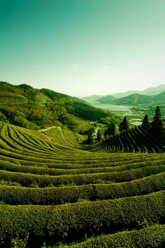 Boseong Green Tea Plantation in Jeollanam-do, South Korea -- I love it when science (in this case, agricultural geometry) exemplifies nature...