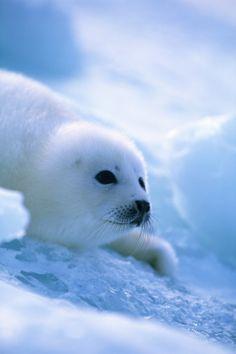 Harp Seal | Amazing Photos