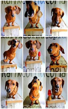 the many faces of a Dachshund ❤️