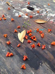 Flores y hojas de mirra [Commiphora myrrha] dejo la tormenta, Suchitoto, El Salvador | suchitoto.tours@gmail.com