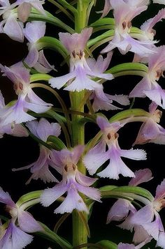 Small Purple-Fringed, Hybrid Orchid - Platanthera psycodes x Platanthera psycodes f. albiflora