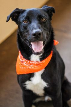 "Hello, my name is Rebel and I'm a 2 year old Lab. My owner brought me here to the shelter and I was a little sad. Now, I would just really love to find my new forever family! I'm a good boy and really love people. I even got to go on the last ""field..."