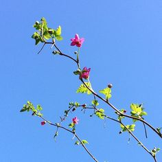 Pretty Salmonberry now blooming, with bluesky bonus! instagram by @fernwoodsy