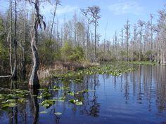 Okefenokee Swamp, Foldston, Georgia. ~~ 3/16/2001