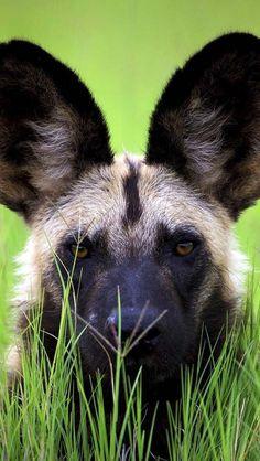 Big ears big heart