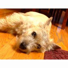 Cairn Terrier- just like sweet Emma!!
