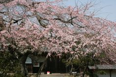 The entrance and a cherry tree of a farmhouse No.1  In Nara prefecture  Uda city.