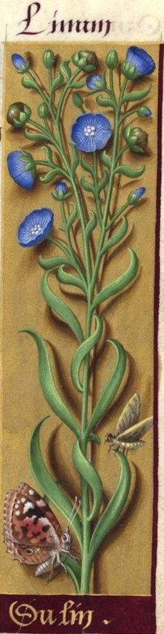 Du lin - Linum (Linum usitatissimum L. = lin cultivé, lin bleu) -- Grandes Heures d'Anne de Bretagne, BNF, Ms Latin 9474, 1503-1508, f°74r