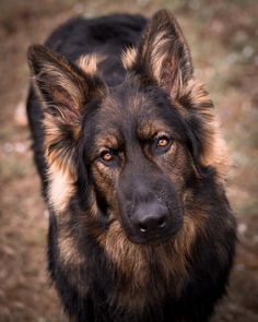 Like puppies, bunnies, babies, and so on. A place for really cute pictures and videos! Gsd Dog, Doberman Dogs, Pet Dogs, Doggies, Pretty Animals, Cute Baby Animals, Animals And Pets, Sable German Shepherd, German Shepherd Puppies