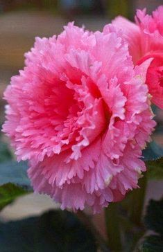 Begonia 'Pink Peony' Beautiful gorgeous pretty... - Gorgeous Flowers Garden & Love