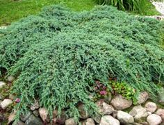 Juniperus squamata 'Blue Carpet' - sinilaakakataja