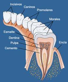 .anatomía dental