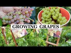 Best place to grow grapes grape vine trellis,grape vines for zone 4 grapes plant information,growing grapes from cuttings in water growing grapes in backyard. Growing Tomatoes From Seed, Growing Tomatoes In Containers, Growing Grapes, Growing Avocado, Dried Tomatoes, Grape Vine Trellis, Grape Vines, Apple Tree From Seed, Prune Fruit