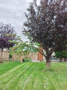 This tree has one branch that has apples, thanks to grafting...