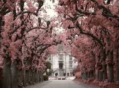 eyegasm: cherry blossoms and a mansion