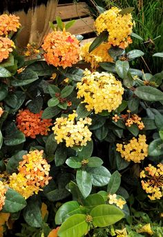 Ixora Maui ~ Variety of colors ~ Great hedge, borders, & foundation plantings ~ Attracts butterflies!  ~ Deer Resistant ~ Grows up to 4' - 8' tall & 3' - 6' wide ~ Prefers full sun to partial shade #shopdewaynes #thenursery #tropical #summertime