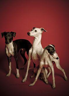 Trio! Italian Greyhound.