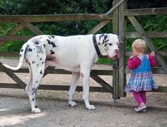 Great Dane  The Great Dane is one of the world's tallest dogs! But just because they're massive doesn't mean they're mean spirited dogs; in actuality, the Great Dane is very gentle and loving. Originally bred to hunt deer and wild boar, this breed is a great pet for family with small children.