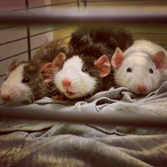 Three little ratties all in a row. My new girls <3 #aww #cute #rat #cuterats #ratsofpinterest #cuddle #fluffy #animals #pets #bestfriend #ittssofluffy #boopthesnoot