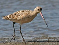 Marbled Godwit saw many at Assateague Island.