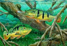 Catching Peacock Bass - Pavon by Terry Fox - Catching Peacock Bass - Pavon Painting - Catching Peacock Bass - Pavon Fine Art Prints and Posters for Sale Bass Fishing Tips, Fishing Boats, Fishing Chair, Fish Artwork, Fish Paintings, Peacock Bass, Salt Water Fish, Fish Wallpaper, Bass Boat