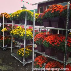 phillugo How to Care for Fall Mums How Caring For Mums, Potted Mums, Fall Mums, Healthy Balanced Diet, Nail Polish, Bling Nails, Fall Flowers, Design Thinking, Fresh Fruit