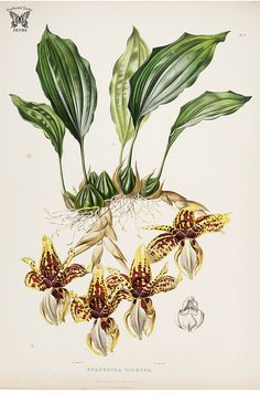 Tiger-like Stanhopea. Stanhopea tigrina. The Orchidaceae of Mexico and Guatemala (1837-1843) [Mrs. Withers] | by Swallowtail Garden Seeds