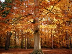 deciduous trees of north america - Google Search
