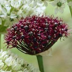 Allium Bulbs For Sale  Longfield Gardens