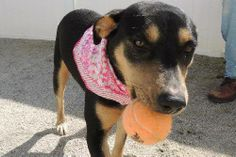 ADOPTED! Flower is a 7-month-old Rotty mix (maybe Shepherd mix?) who was found as a stray in a very rural area in South Carolina. She was VERY urgent in a high volume kill shelter, but her luck has turned around and she is now starting her journey north! She is great with people and dogs, but not good with cats. She will be here in a few weeks and is looking for either foster/adopter! Head over to survivortails.org for either a foster or adoption application!