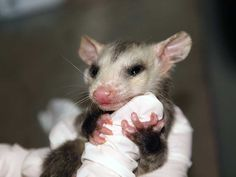 Funny face! This sweet orphaned opossum clings tightly to the gloved hand of the volunteer feeding him, much like he would to his mother in the wild. Provide the nutritious formula he needs to grow by making a symbolic adoption. http://www.torontowildlifecentre.com/adopt-a-baby/