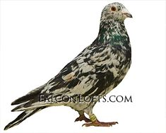 High Flying Pigeons, Racing Pigeon Lofts, Pigeons For Sale, Pigeon Pictures, Pigeon Breeds, Homing Pigeons, Loft Design, Coops, Macro Photography