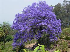 Imagens de Jacarandá Mimoso