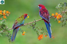 https://www.facebook.com/WonderBirdSpecies/ Crimson rosella (Platycercus elegans); Australia; IUCN Red List of Threatened Species 3.1 : Least Concern (LC)(Loài ít quan tâm) || Vẹt Rosella đỏ; Australia; Họ Vẹt nhỏ-Psittaculidae (Parrots).