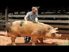 Globo Rural - Matança do porco