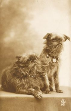 "1919 French Postcard  of 2 Brussels Griffons with fabulous collars.   1 of 2 new pics we later found; these two later photographs dated & gave us a place or origin.  Still love the collars with the bells on them; they remind us of Verdell's bell collar  in ""As good as it gets"""