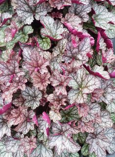 Besides plenty of flowers that are pink, many houseplants, as well as outdoor plants, have exciting pink-hued foliage. Here are 15 plants with beautiful pink leaves sure to brighten your home or garden. Pink Leaf Plant, Peacock Plant, Zebra Plant, Indoor Fairy Gardens, Household Plants, Plants Delivered, Pink Leaves, Heuchera, Garden Landscape Design