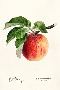 Download free illustration of Apple (Malus Domestica) (1918) by Royal