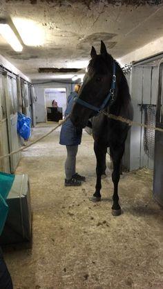 Varmblodstraver til salgs Horses, Animals, Animales, Animaux, Animais, Horse, Words, Animal