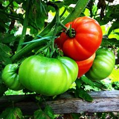 Tomato  season ends at first frost!  Have you made your sauces and canning for the cold months ahead? #verticalfarming #urbanfarming #organicfarming #food #agriculture #urbangardenersrep #growsomethinggreen #epicgardening #urbanorganicgardener #gardeningtips #finegardening #eats #eatthis #urban_farming #fooooodieee #eatography #detoxpage #bestofvegan #gardening #nytcooking #thekitchn #beauty #summer #healthy #plantbased #butterfly #followme by theplantcharmer