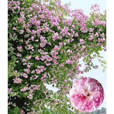 PN3130 Pflanzen - Rosen - Duftrosen - Rambler-Rose 'Paul's Himalayan Musk Rambler',1 Pflanze