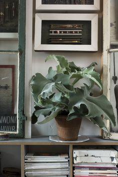 ZILVERGRIJZE, FLUWELEN BEAUTY: KALANCHOE BEHARENSIS Bij het woord 'Kalanchoe' denk je waarschijnlijk meteen aan mooie, kleine vetplantjes. Nou, maak kennis met de Beharensis, ook bekend als Olifantsoor. Die zomaar twee meter hoog kan worden. En wel wat meer te bieden heeft dan mooie dikke bladeren. Mooie dikke gekrulde en gewelfde bladeren, bijvoorbeeld. Die ook nog eens bedekt zijn met een laagje zilverwit wollig vilt. Dat hoort zo, dus dat scheelt weer afstoffen!
