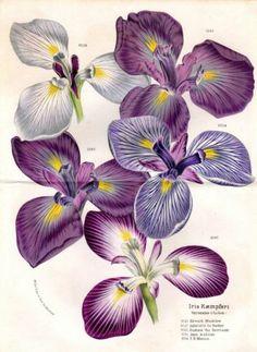1876 Irises Antique Botanical Print Large Double Page Iris Plate Van Houtte