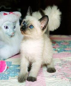 Cat Siamese Kittens