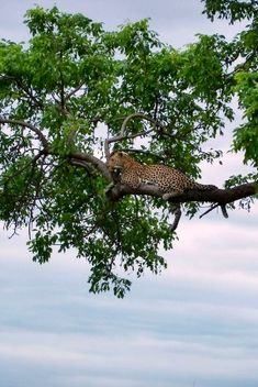 We were fortunate with two leopard sightings in one day! Kruger National Park, National Parks, Wood For Sale, Wild Dogs, Nature Reserve, Small Towns, Geology, Glamping, Animal Pictures