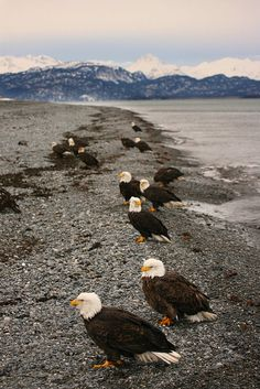 Bald Eagles in Homer, Alaska..Eagles are very social birds and enjoy the company of other eagles