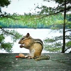 Scrappy Do!!!  Chippy on Hurds Lake, Ontario (well, on the deck, not the actual lake!) by Tammy Raybould Photography